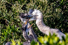 Great Blue Heron Feeding a Pair of Chicks (dbadair) Tags: outdoor seaside sky nature wildlife 7dm2 7d ii ef100400mm canon florida bird