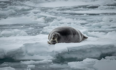 What' s going on? (MrBlackSun) Tags: beardedseal bearded seal arctic polar northpole svalbard spitsbergen winter landscape nature nikond850 naturephotography landscapephotography