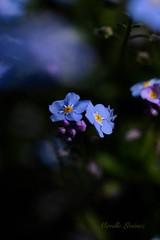 Myosotis & poésie - Forget-me-not & poetry (Mireille L.) Tags: printemps spring myosotis forgetmenot bleu blue fleur flower macrophotography canoneos70d