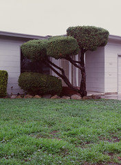 Sunnyvale, California (bior) Tags: pentax645nii pentax645 6x45cm ektachrome e200 kodakektachrome slidefilm mediumformat 120 sunnyvale street rain suburbs grass lawn yard tree