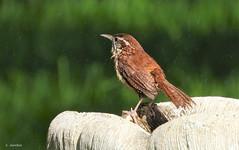 Shake It Off (Suzanham) Tags: carolinawren birdbath bird songbird spring bathing mississippi wren thryothorusludovicianus