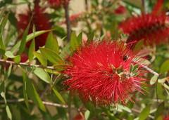 Red Bottlebrush Flower with a Guest (Wolfgang Bazer) Tags: red bottlebrush flower callistemon zylinderputzer pfeifenputzer flaschenputzer blüten blüte blossom blossoms frühling spring springtime kreta crete