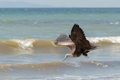 Frigatebird (ToriAndrewsPhotography) Tags: frigatebird costa rica tarcoles beach photography andrews tori bird flight