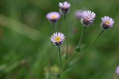 Erigeron caucasicus Lago-Naki July 2018 (Aidehua2013) Tags: erigeron caucasicus asterales asteraceae plant flower lagonaki adygea maikopdistrict russia caucasus