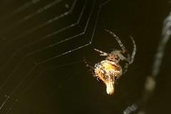 Trashline Orb Weaver spider making its web (Treebeard) Tags: spider web trashlineorbweaver cyclosa araneidae sanmarcospass santabarbaracounty california