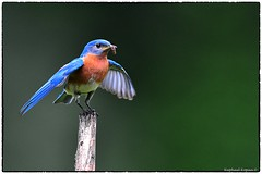 Bluebird (RKop) Tags: raphaelkopanphotography cincinnati ohio d500 600mmf4evr 14xtciii nikon