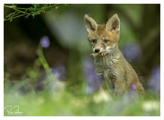 toys to find in wonderland (richgparkes) Tags: fox cub family bluebells nature animal spring wood