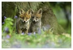 one two three in wonderland (richgparkes) Tags: fox cub family bluebells nature animal wood spring