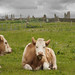Bovine Protection for the Ring of Brodgar