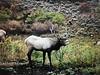 Colorado Elk Hunt and Mule Deer Hunt - Meeker 24