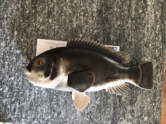 IMG_4678 (Dr.DeNo) Tags: 2018 spring black fish tautog woodcarving carver whittle art marine painted finished done