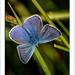 """Azuré : """"En se posant sur la branche, le papillon craint de la briser."""""""