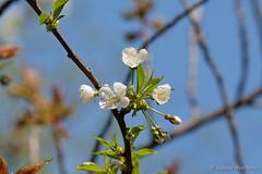 Waiting for bees (Sockenhummel) Tags: blüten volksparkwilmersdorf baumblüte obstblüten baum zweige tree frühling himmel blau fuji xt10
