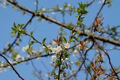Kreuz und quer am Himmel (Sockenhummel) Tags: blüten volksparkwilmersdorf baumblüte obstblüten baum zweige tree frühling himmel blau fuji xt10