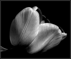 Tulipan. (andrzejskałuba) Tags: poland polska pieszyce dolnyśląsk silesia sudety europe plant roślina natura nature natural natureshot natureworld nikoncoolpixb500 macro monochrome beautiful biały black bw blackwhite flower flora floral flowers kwiat kwiaty ogród garden white wiosna shadow spring cień czarny tulip tulipan 100v10f 1000v40f 1500v60f