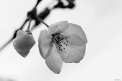 cherry blossoms (Christine_S.) Tags: flower blossoms buds monochrome blackwhite japan outdoor nature hmbt canon eos mirrorless m5 ef100mm sakura 桜 さくら サクラ