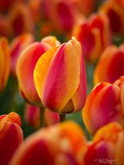 Chromatic (Through_Urizen) Tags: category eskisehir flora places tulip turkey yunusemrecampus sigma105mmmacro macro macrodreams macrophotography canon70d canon closeup bokeh depthoffield plant flower garden colourful colours nature natural