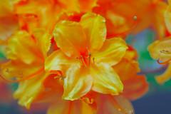 fireflower (♫ marc_l'esperance) Tags: vancouver bc flower flowering tree bokeh dof blur macro nikon seriese pancake vintagelens bloom blooming spring marclesperancephoto 2019 cml luxmaticcom orange pastel colours colors