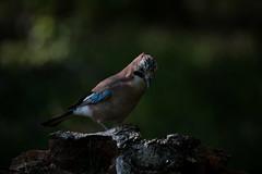 Ghiandaia - Jay (carlo612001) Tags: wild wildlife ghiandaia jay wood woods birds natura animali nature animals bokeh