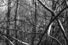 Winter time forest (lumpy79) Tags: praktica mtl5 helios44m 258 ilford hp5 400 1600 winter forest blackandwhite bw feketefehér