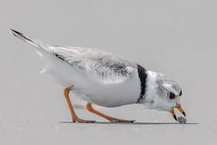 Piping Plover (Kevin E Fox) Tags: pipingplover plover stoneharbor stoneharborpoint newjersey nj bird birdwatching birding birdphotography nature nikond500 nikon sigma150600sport sigma shorebirds sand ocean