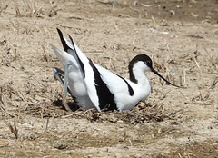 Avocet (hedgehoggarden1) Tags: avocet birds wildlife wader creature animal sonycybershot norfolk cleymarshes norfolkwildlifetrust eastanglia uk bird sony rspb
