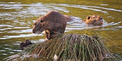 des ragondins (evablanchardcouet) Tags: ragondin racoon animaux eau water nature