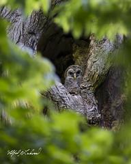 Owlet Safe House_T3W4820 (Alfred J. Lockwood Photography) Tags: alfredjlockwood nature wildlife birds barredowl owlets nest bokeh oaktree colleyvillenaturecenter morning spring texas