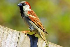 sparrow (Jackal1) Tags: bird sparrow nature canon
