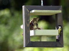 Birds (Carahiah) Tags: mesange mésange bird moineau moineauxdomestiques nature