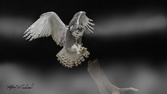 Snowy Owl_T3W2850 (Alfred J. Lockwood Photography) Tags: alfredjlockwood nature birdsinflight birdsofprey snowyowl landing canada ontario autumn raptor