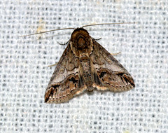 ecosystem/fauna/Nolid Moth(Risoba prominens ) (biodiversity western ghats(before it is gone)) Tags: taxonomy:binomial=risobaprominens