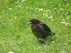 Noisy lot in the garden. (aitch tee) Tags: starling young garden birds nature walesuk