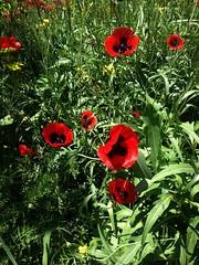 Poppy (Anna Gelashvili) Tags: flower цветок flowers цветочки garden красные poppy мак ყაყაჩო