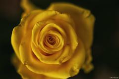 Yellow rose (akatsoulis) Tags: yellowroses roses