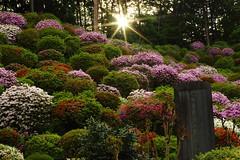 Azaleas(Beam of Light) (seiji2012) Tags: 青梅市 塩船観音 ツツジ 光芒 夕陽 japan ome shiobune temple garden azalea sun light