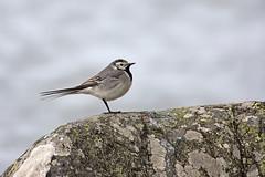 sädesärla på sten (Håkan Jylhä (Thanks for +850.000 views)) Tags: sädesärla bird stone sweden sverige håkan jylhä sony rx10iv fågel liten ensam