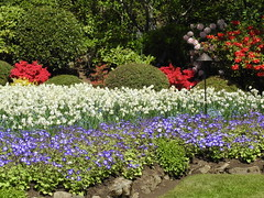 British Columbia, Vancouver Island, Butchart Gardens DSCN4222 (ianw1951) Tags: britishcolumbia canada daffodils daisies flowers gardens rhododendrons spring vancouverisland