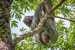 Sloth on the Move (helenehoffman) Tags: mother costaricapanama2019 costaricantrails conservationstatusleastconcern arenalvolcanonationalpark uncruiseadventures mammal costarica bradypusvariegatus motherandchild arboreal sloth 3toedsloth brownthroated3toedsloth animal