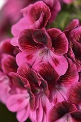 Geranio (eitb.eus) Tags: eitbcom 41742 g1 tiemponaturaleza tiempon2019 flora gipuzkoa donostiasansebastian joséignacioemperador