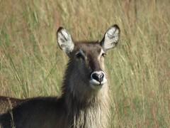 Waterbuck / Waterbok (Pixi2011) Tags: wildlifeafrica southafrica africa antelope wildanimals rietvleinaturereserve nature