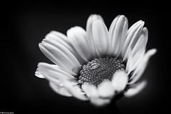 spring b&w #2 (fhenkemeyer) Tags: spring bw daisy blossom flower nature