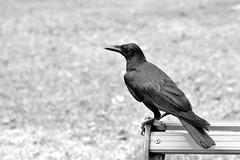 DSC_3177 (Kyp-chan) Tags: animal thailand bangkok lumpinipark สวนลุมพินี bird blackandwhite กรุงเทพมหานคร บางกอก travel black white noir blanc voyage