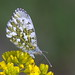 Koiduliblikas; Anthocharis cardamines; Orange-tip ♀