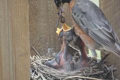 Robins feeding their young (wwwebber) Tags: american robin nest hatch feeding birds