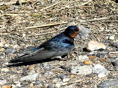 Swallow 16.5.19 (ericy202) Tags: swallow ground stones mud neat material