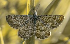 Ematurga atomaria (Torok_Bea) Tags: ematurgaatomaria rétiaraszoló barnarétiaraszoló araszoló lepke lepidoptera wonderful wildanimal natur nikond7200 nikon nationalpark butterfly sigma sigma105 geometridae dunaipolynemzetipark