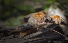 champignons des souches au petit matin (jean_game) Tags: extérieur nature printemps lumière matin forêt sousbois souches champignons contraste outdoor spring light morning forest undergrowth stumps mushrooms contrast