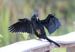 IMG_3788.jpg (Laura Erickson) Tags: anhingidae birds species pelecaniformes anhingatrail anhinga miamidade evergladesnationalpark places florida anhingaanhinga