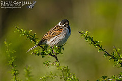 Reed Bunting (Emberiza schoeniclus) (gcampbellphoto) Tags: reed bunting emberiza schoeniclus bird wetland nature wildlife avian north antrim northern ireland gcampbellphoto outdoor animal